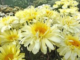 Leucanthemum Shasta Daisy - Real Charmer - 1 Live Plant - Quart Pot - $40.99