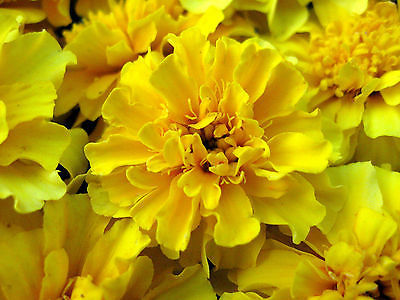 100 Pcs Yellow Marigold Seeds, French Marigolds, Heirloom Seeds, Easy to Grow