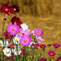 1 Pound Seeds of Cosmos - $69.20