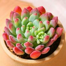 "Live Plant Echeveria cv. Blue Apple Succulent Rooted in 2"" Planter Home ... - $21.80"