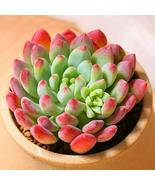 """Live Plant Echeveria cv. Blue Apple Succulent Rooted in 2"""" Planter Home ... - $21.80"""