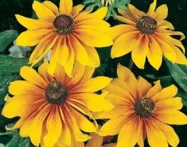 SHIPPED From US, GLORIOSA DAISY FLOWERS 100 FRESH SEEDS*FREE US SHIPPING... - $16.99