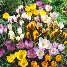 50 Species Crocus Bulbs Mix-Snow Crocus(Pack of 50 Bulbs)Perennial, Zone... - $19.95