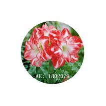 HAPPY FLOWER 2 Bulbs ORO ORO DOWO True Hippeastrum Rutilum Amaryllis Lov... - $1.78