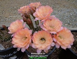 Echinopsis,Hybrid, 'SLEEPING BEAUTY',**HAS BUDs**,Plant, Cactus,NO,Lobivia  - $34.24
