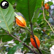 Buy Cape Jasmine Seeds 120pcs Plant Gardenia Jasminoides For Zhi Zi Hua - $9.99