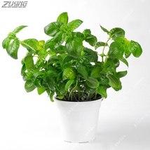Basil Seeds Sweet Ocimum Basilicum Seed Spices Aromatic Vegetables 100 s... - $4.65