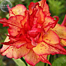 Golden Carrot' Gold Red Adenium Obesum Desert Rose Seeds, Professional 2... - $8.25
