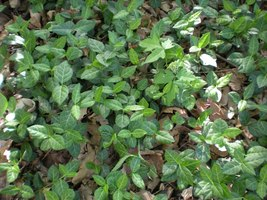 English Ivy - Bare Root- Hedera Helix - 25 Plants Per Order - $58.80