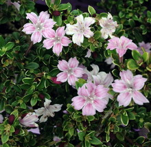 "2.5"" Pot - Pink Mountain Serissa Tree - House Plant, Fairy Garden Plant,... - $51.99"