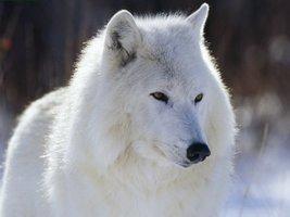 Transformation Lightwork White Wolf Totem, 31 Days - $234.22