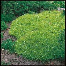 500 Seeds - Irish Moss - Ground Cover - $9.49