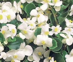 50 Seeds White Begonia- Wax (Begonia Semperflorens) - $2.99