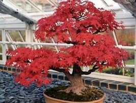 Bonsai Trident Maple Seeds, 40 Seeds / Pack, Japanese Hybrid Maple - $5.56