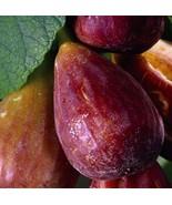 3 Cuttings of Magnolia, Brunswick, Madonna Fig Tree,  Zone 7 to 10 - $7.80