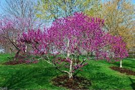25 Redbud Tree Seeds-1105 - $2.98