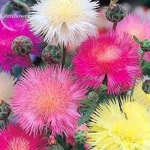 BEST PRICE 50 Seeds Beautiful Colorful Cornflower,DIY Flower Seeds E3711 DG - $4.99