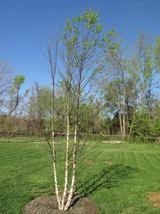 River Birch multi-stem clump tree (betulanigra) in quart pot image 4