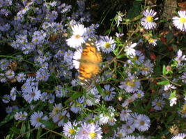 Organic Native Plant, New York Aster (Aster nova belgii) - $3.50