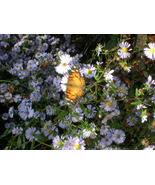 Organic Native Plant, New York Aster (Aster nova belgii) - $3.75