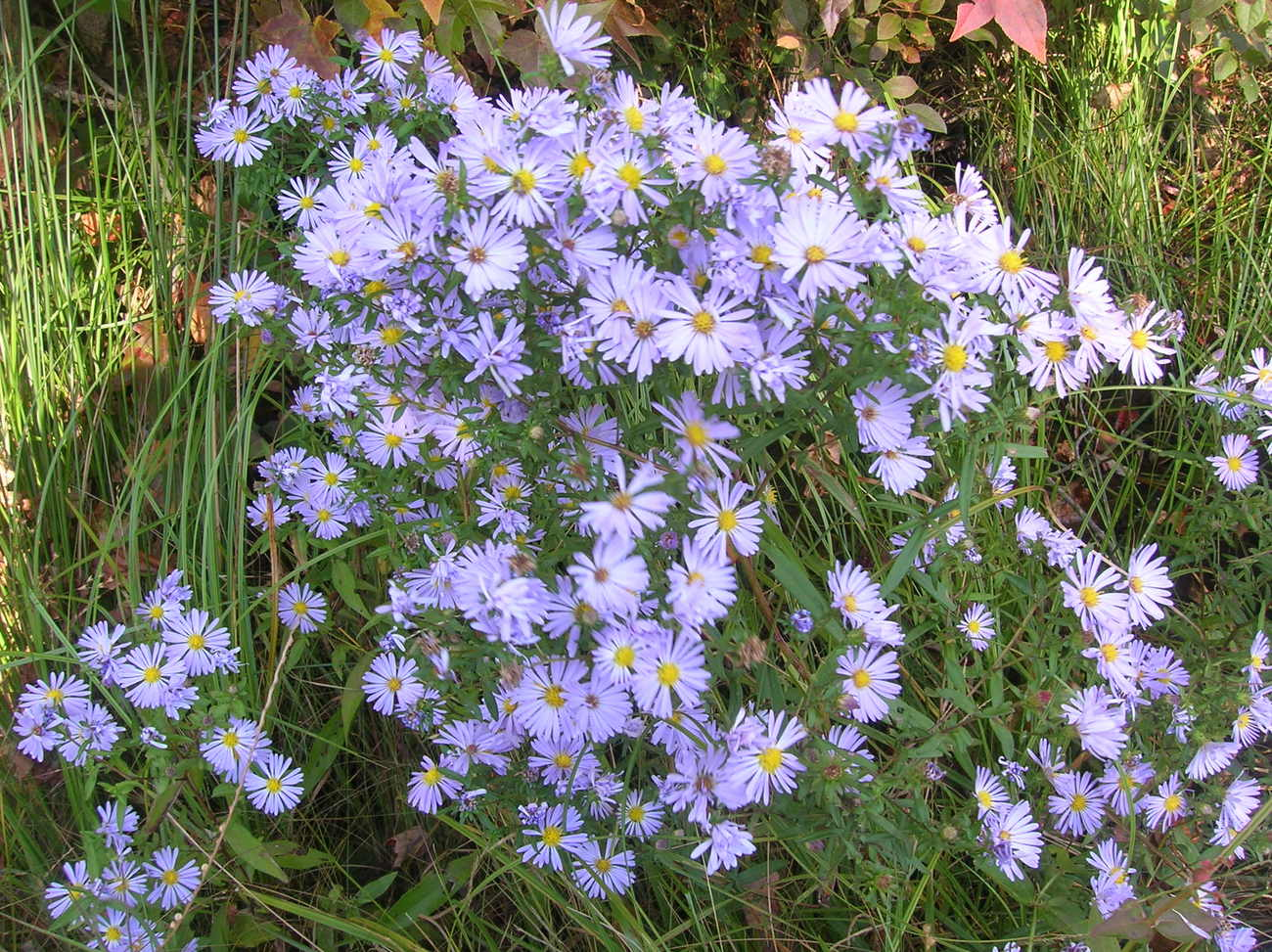 Organic Native Plant, New York Aster (Aster nova belgii)