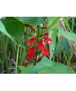 Organic Native Plant, Cardinal Flower, Lobelia cardinalis - $3.50