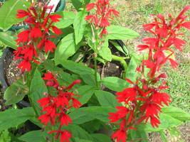 Organic Native Plant, Cardinal Flower, Lobelia cardinalis