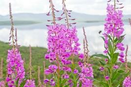 300+FIREWEED Seeds ROSEBAY WILLOW HERB YANAGIRAN Native Medicinal Wildfl... - $2.50