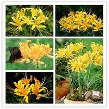 Yellow Lycoris Bulbs True Lycoris Bulbs,(Not Seeds),Natural Growth - 2 B... - $7.75