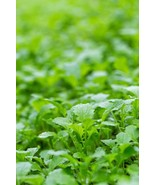Mustard Florida Broadleaf Non GMO Heirloom Vegetable Seeds Sow No GMO® USA - $1.97+