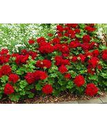 Geranium - Calliope - Dark Red - L - 4 Live Starter Plants - $40.99