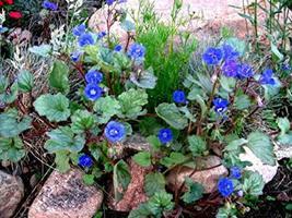 800 California Bluebell Desert Canterbury Flower Seeds TkLucky72 - $61.38