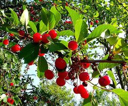 Heirloom 25 Seeds Cherry Tree Shrub Seeds cherry-tree Edible Fruit Seeds image 4