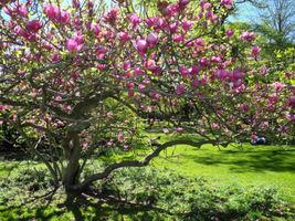 Saucer Magnolia Tree - Flowering Shrub Live Established - 1 Plant in Gal... - $43.16