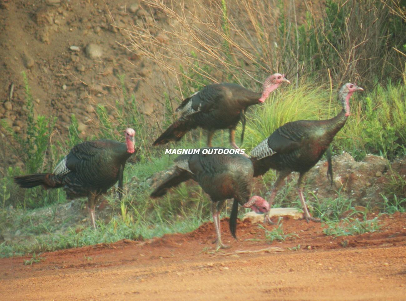 Turkeys2527
