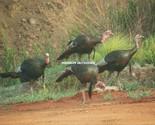 Turkeys2527 thumb155 crop