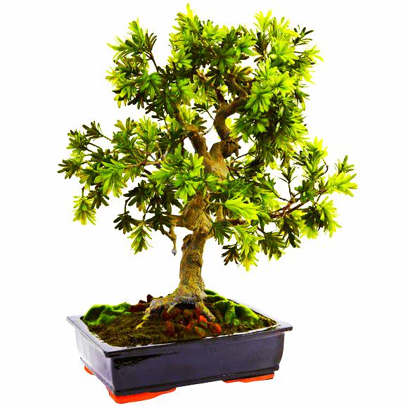Giant Podocarpu W/Mossed Bonsai Planter