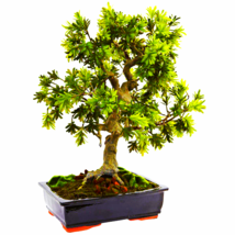Giant Podocarpu W/Mossed Bonsai Planter - $262.26