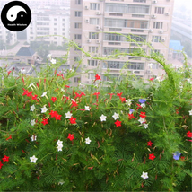 Buy Quamoclit Pennata Flower Seeds 120pcs Plant Vine Flower Quamoclit Pe... - $15.99