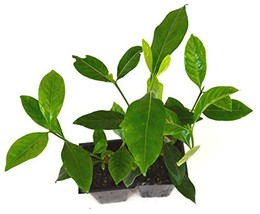 2 Pack Hardy Starter Plant Gardenia Jasminoides 'Veitchii' Fragrant - $36.94