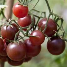 Brown Cherry Tomato 3 variety Seeds Fresh #IMA30 - $14.99+