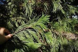 20 Seeds - Incense Calocedrus Decurrens Tree Seeds #TSP - $16.99