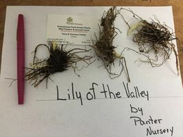Lily of the Valley, May Lily, May Bells 5 roots-(Convallaria majalis) image 3
