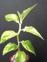 "SHIP From US,2""PEDILANTHUS TITHYMALOIDES  SPLISH SPLASH,succulent plant ... - $36.99"