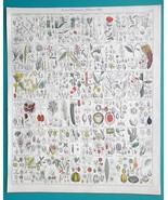 BOTANY Flowers Nutmeg Banksia Beech Oak Lantern Tree - 1843 HC Color Print - $39.60