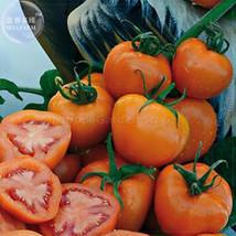 Zlatava Tomato Seeds, Professional Pack,  100 /pack - $3.95