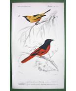 BIRDS Golden & Red Flycatchers - SUPERB H/C Color Print - $22.94