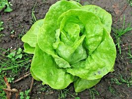 SHIPPED FROM US 1,200+TOM THUMB Leaf Lettuce Organic Non-GMO Seeds, CB08 - $17.00