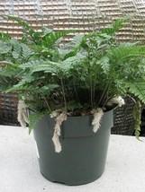 """White Rabbit's Foot Fern 4"""" pot - Davallia - $32.99"""
