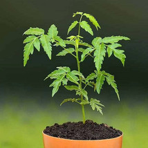 Neem tree margosa tree fast growing seeds pack for home - $4.49